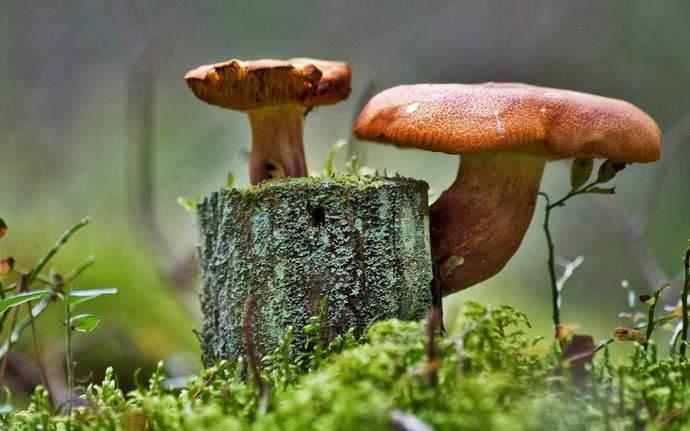 Старый пень можно заселить мицелием съедобных грибов, которые распространятся по пню, развиваясь в настоящую колонию